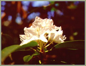 large pinkish-white flower