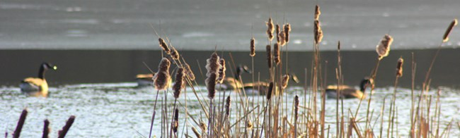 dried reeds with geese on the pond in the background