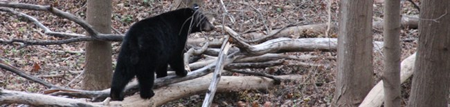 black bear walking on a log