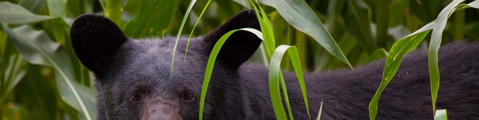 Black bear standing in the brush.