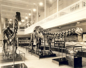 The Apatosaurus found by Earl Douglass on display at Carnegie Museum in 1915.