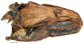 With one side completely missing from this specimen, paleontologists can study both the internal and external structures of Allosaurus jimmadseni.  The internal structure of Allosaurus jimmadseni including the brain case and the entire inside of the left side in the skull can be seen.