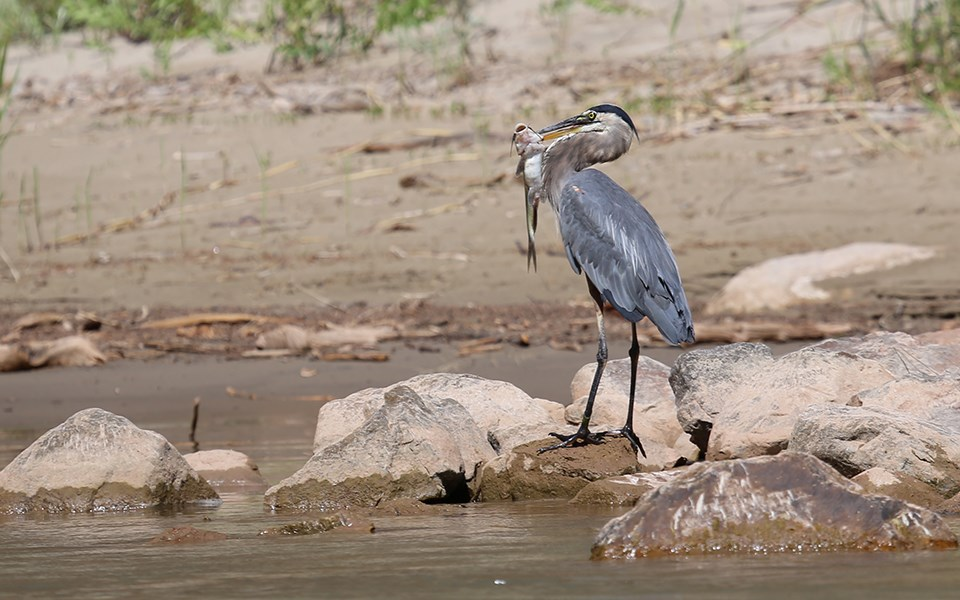 A large, stork-like bird known as a great blue heron stands on rocks in a river. It is holding a fish with its beak.