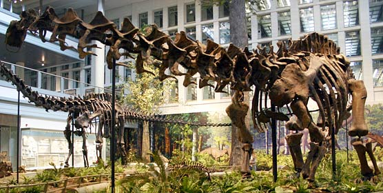 The first specimen ever found at Dinosaur, this Apatosaurus louisae, has been on display at the Carnegie Museum since 1915, except for a few years when the dinosaur hall was being redone.