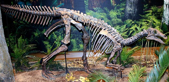 Camptosaurus is now a displayed as a freestanding mount at the Carnegie Museum.