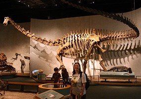 This Diplodocus at the Denver Museum of Nature and Science is the only mounted specimen to contain all of the 82 real tail bones. They were found in life position in the Carnegie Quarry.