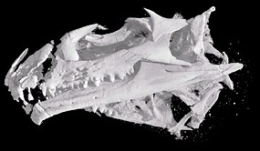 CT scan of Opisthias skull