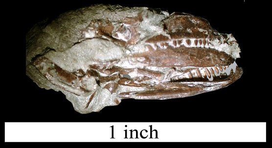 Both lower jaws are visible in this view. They are on the right hand side of the photo. The crushed braincase in on the left.