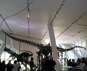 This is most complete real mounted Barosaurus skeleton in the world.
