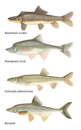 Endangered fish of the Green and Yampa rivers, from top to bottom: razorback sucker, humpback chub, Colorado pikeminnow, bonytail