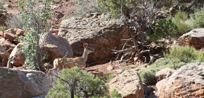 Mule deer on Sound of Silence Trail.