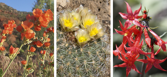 Orange globemallow, hedgehog cactus with yellow flowers, and scarlett gilia.