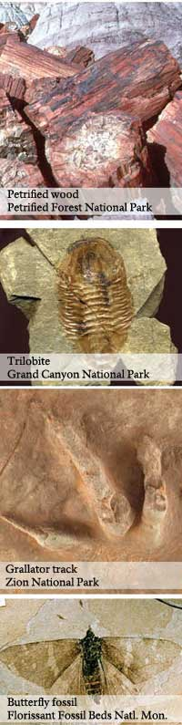 Four images of fossils: petrified wood, trilobite, Grallator track, and butterfly fossil