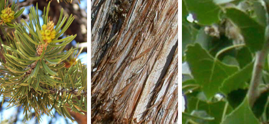Some trees at Dinosaur NM; pinyon pine needles, Utah juniper bark, Fremont cottonwood leaves.