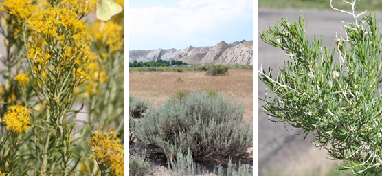 Shrubs at Dinosaur NM: rabbitbrush, big sagebrush, greasewood.