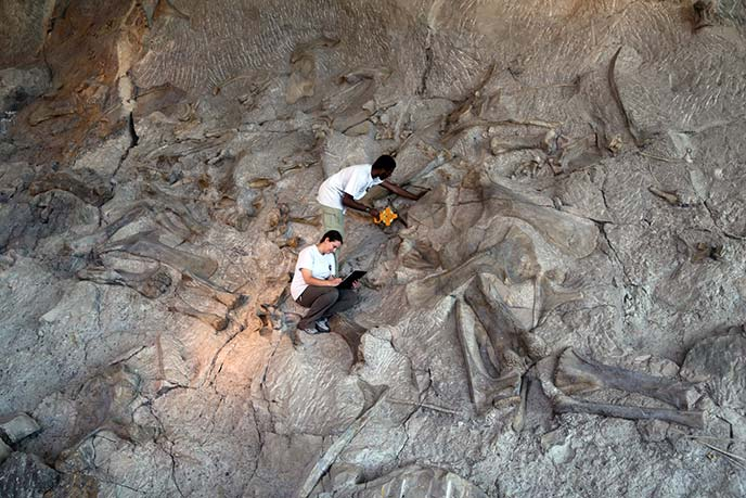 Standing in the middle of a dinosaur bone log jam inside the Quarry Exhibit Hall, paleontology interns Ben and Nicole collect data for the quarry mapping project at Dinosaur National Monument.