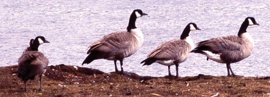 Canada geese walking on the shore of the river