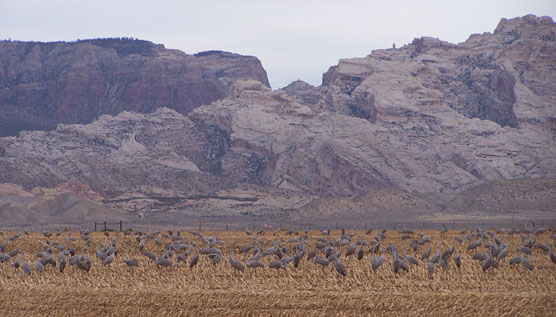 Sandhill cranes feed in a field with Split Mountain in the background
