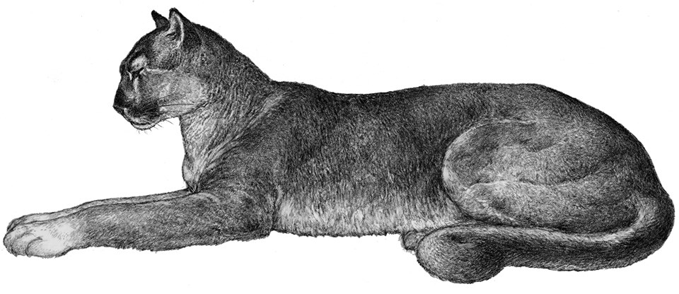 Black and white drawing of a mountain lion