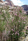 Tamarisk in Lower Yampa River Canyon