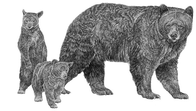 Drawing of a mother black bear with two cubs