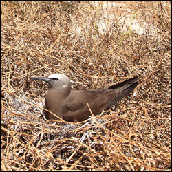 Brown Noddy nesting on Bush Key.