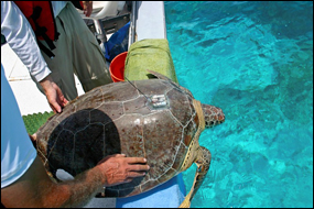Sea turtle fitted with a satellite tag