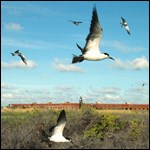 Birds at Dry Tortugas National Park