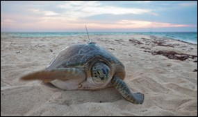A green turtle on Loggerhead Key fitted with a satellite tag