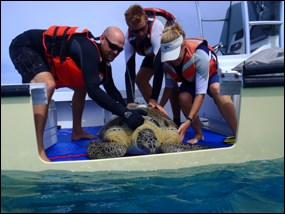 Green sea turtle release from boat