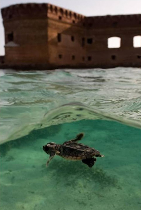 Sea turtle hatchling swimming in front of Fort Jefferson