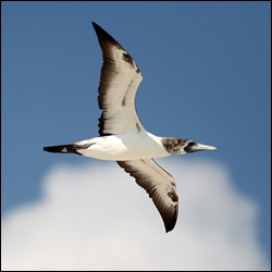 A Masked Booby soars above Hospital Key