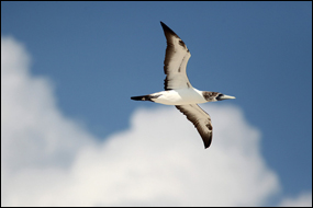 Masked booby soars above Hospital Key