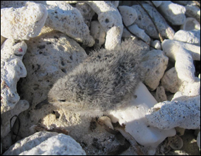Roseate tern chick in nest on Bush Key