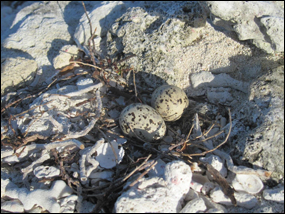 Roseate tern nest with eggs