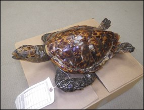 Sea turtle confiscated as part of Operation Wild Web