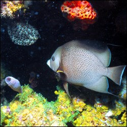 Gray angelfish with characteristic flat shape