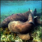 Nurse sharks at Dry Tortugas National Park