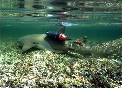National Geograhic crittercam on nurse shark