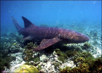 Nurse shark cruising the shallows