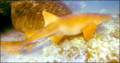 Side view of nurse shark