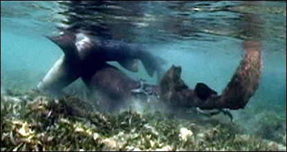 Nurse shark mating avoidance behavior