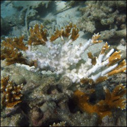 Bleaching of staghorn coral