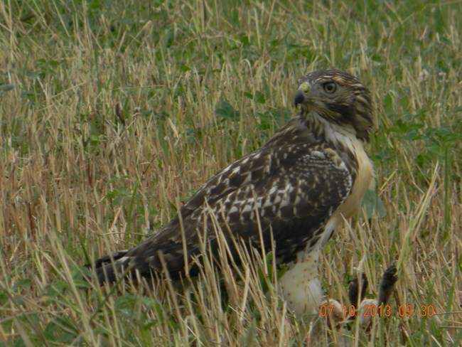 Photo of a red tail hawk on the ground with its dinner.