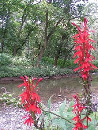 Cardinal flowers blooming along Marsh Creek.