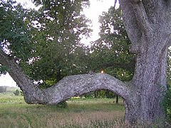 Swamp White Oak at Eisenhower NHS