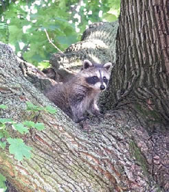 A juvenile raccoon at Eisenhower NHS