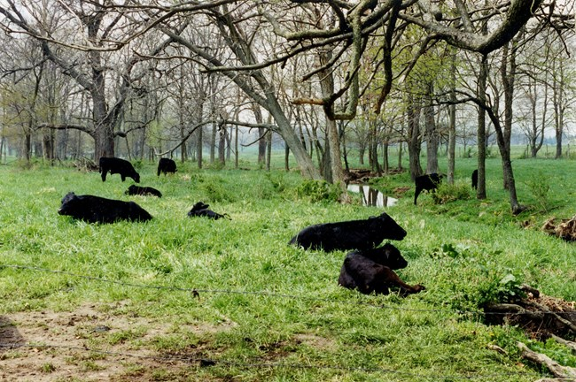 Cattle grazing on the Eisenhower farm.