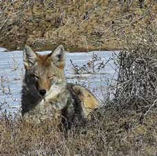 A resting coyote