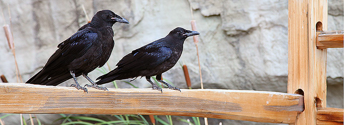 A pair of common ravens perch near the El Morro pond.